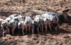 Advocaat varkensfokker: 'We starten ook met een proces tegen de Rabobank'