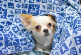 Aegon haalt bakzeil in Kifid-zitting en moet behandeling chihuahua vergoeden