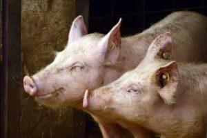 Slordige varkenshouder krijgt schade instorten schuur definitief niet vergoed