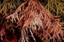 Geen vergoeding voor dode coniferenhaag